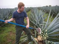 Foodish Boy harvesting blue agave.