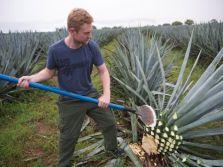 Foodish Boy harvesting blue agave.