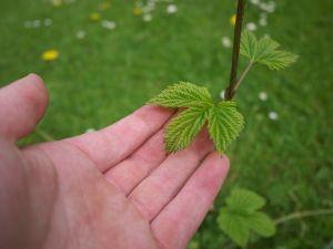 Fresh hops growing in the garden