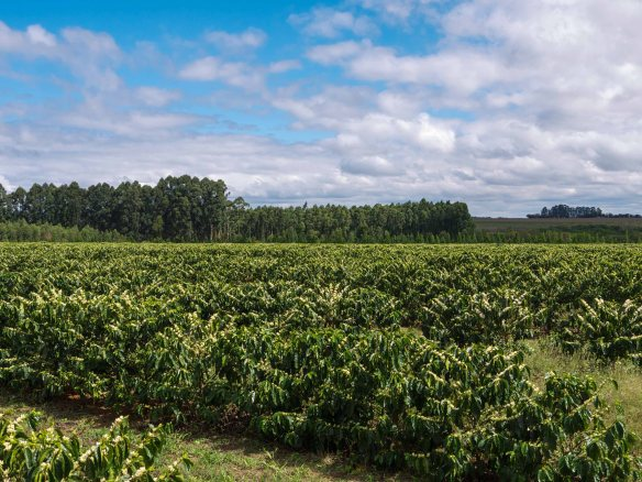 Daterra Coffee Fields