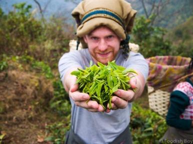 Job 45 - Tea Picking - Darjeeling